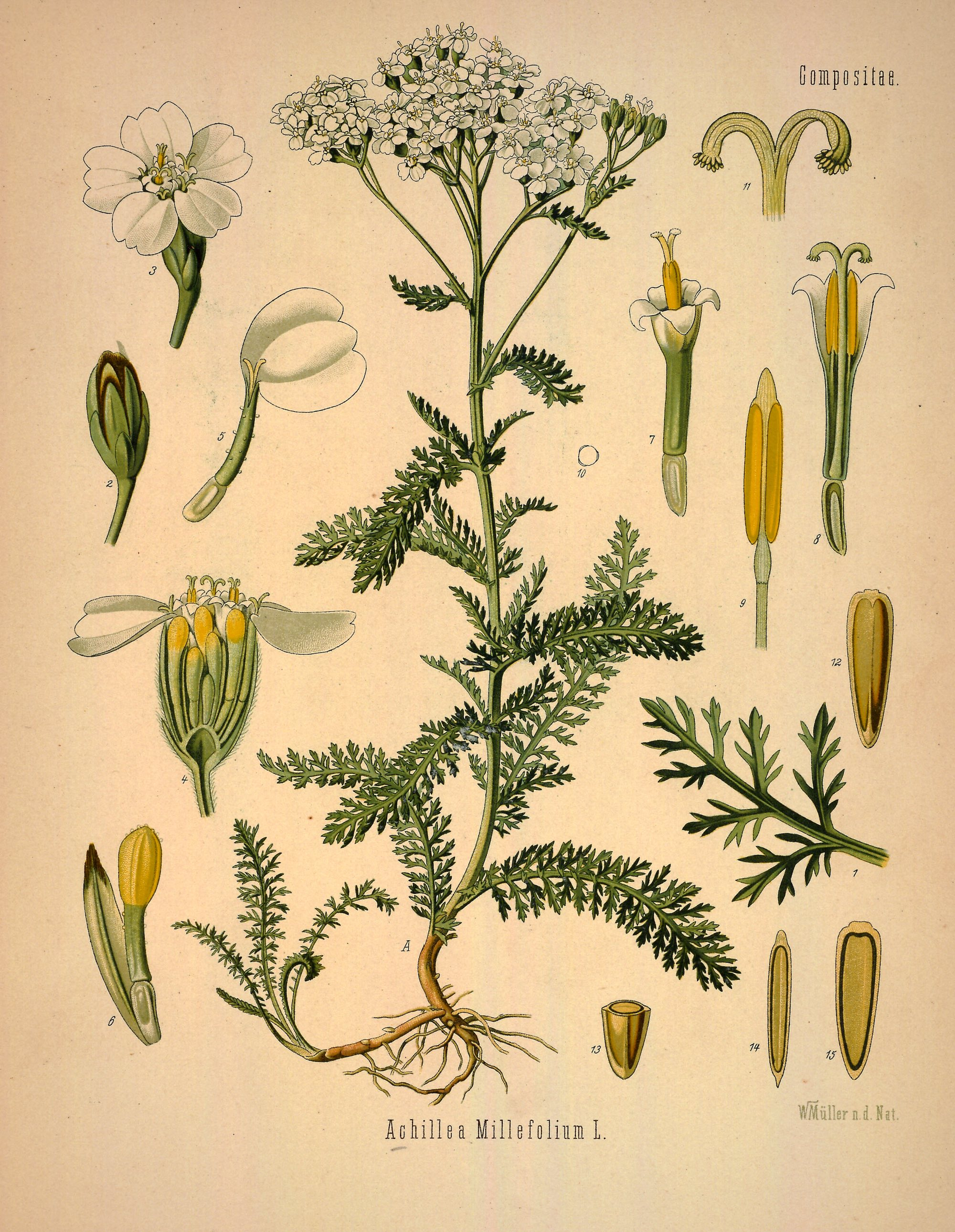 Common Yarrow botanical illustration.