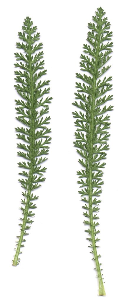 Common Yarrow leaves.
