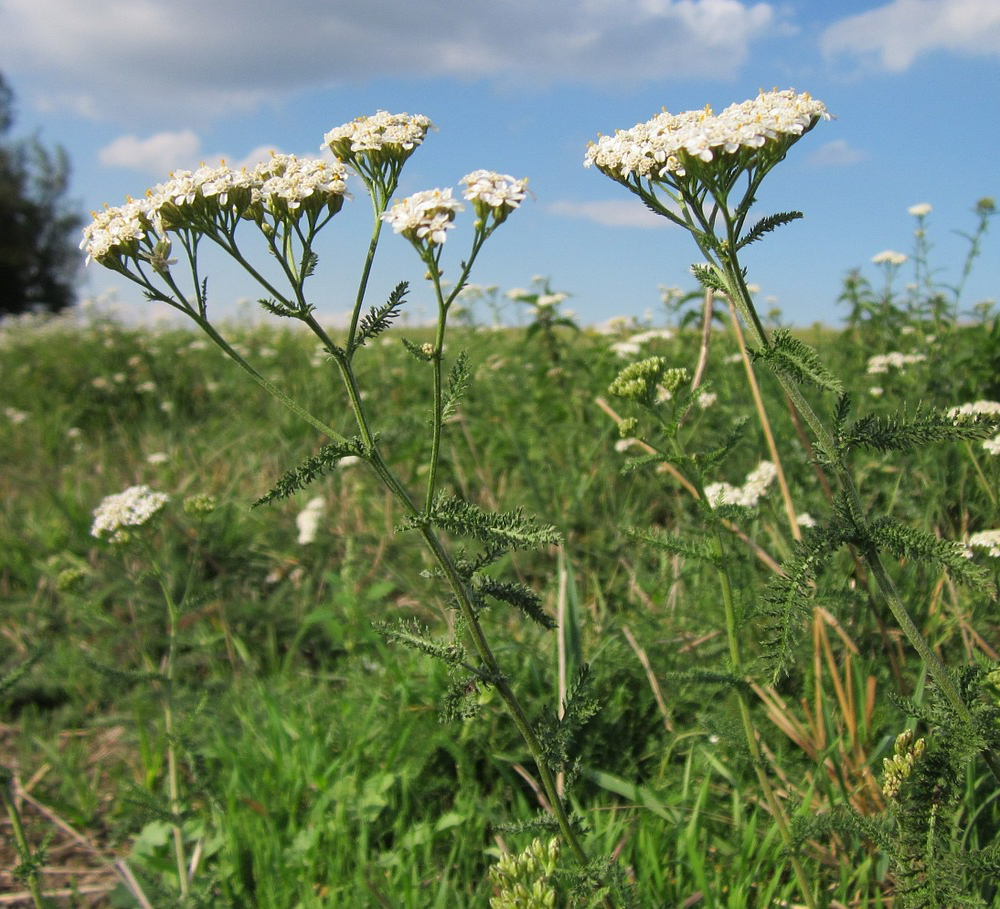 Common Yarrow.